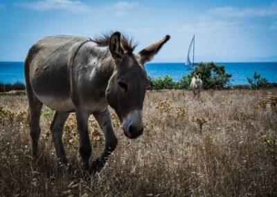 Escursioni Asinara - Gite in barca nel parco nazionale dell'asinara - Asinara Sail Experience - gli animali (5)